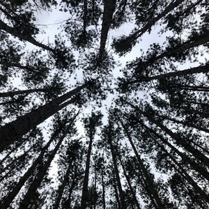 looking up at tall trees