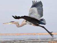 Great Blue Heron © David Wheeler / Macaulay Library at the Cornell Lab of Ornithology (ML302485751)