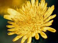 Dandelion Day Take and Makes