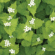 Garlic Mustard in Bloom