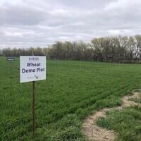 2021 Wheat Plot Tour - Riley County