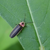 Fireflies and Lightning Bugs