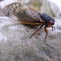VIRTUAL Cicada Cacophony