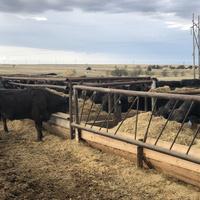 Cattle feeding at Pleasant View Farms in Hays, Kansas
