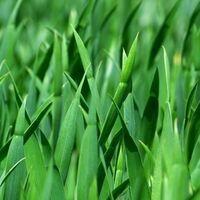 Close-up view of grren blades of grass