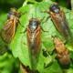 Living Through the Cicada Invasion