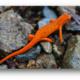 Salamander Safari