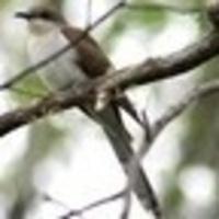 Birding by Ear for Beginners