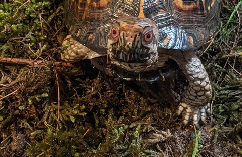 Eastern Box Turtle, BCSP