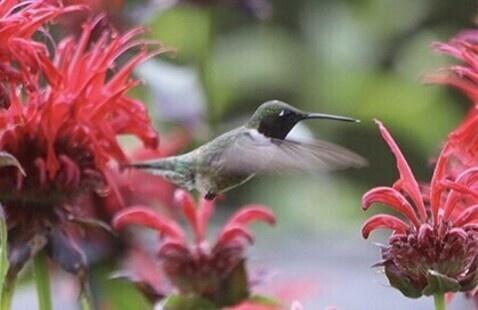 Photo credit: Ruby-throated Hummingbird © Jennifer Hoffman / Macaulay Library at the Cornell Lab of Ornithology (ML248346401)