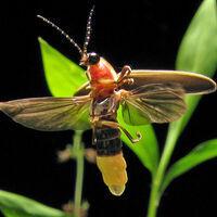 Light Up the Night Lightning Bug Program: Talk & Walk Preregistration required.