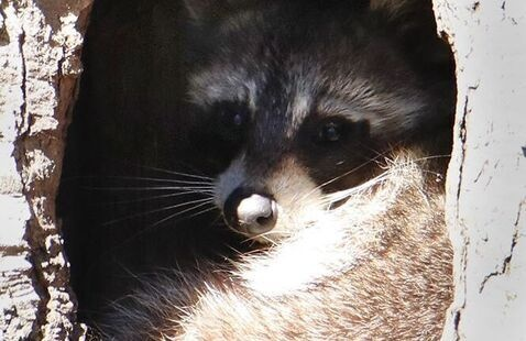 Raccoon in his home, Photo by Jerry Byard