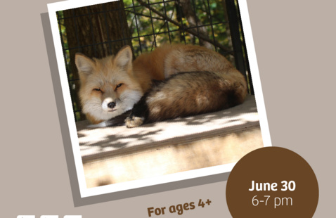 """Brown background with an image of Daisy the fox. Reads: """"Eco-Explorers Magnificent Mammals June 30 6-7pm For ages 4+"""""""