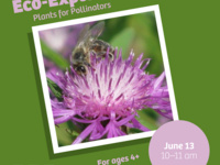 """Green background with an image of a purple flower and a bee. Reads: """"Eco-Explorer Plants for Pollinators June 13 10-11am For ages 4+"""""""