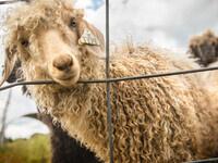 Sheep on an Ovid farm. Credit: Jason Koski (UREL)