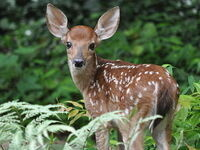 White tailed deer fawn, by Clay Heaton, CC via Wikimedia Commons