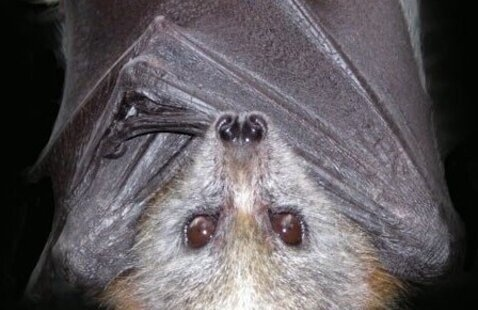 How to Be 'Bat-Friendly' Neighbors