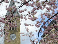 McGraw Tower with cherry blossoms
