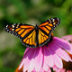 Monarch Migration Celebration