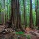 Old Growth Tree Walk