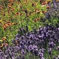 Landscape Gillardia & Lavender