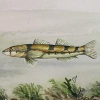 Watercolor of a fish above aquatic plants. Artist: Carol Yang.
