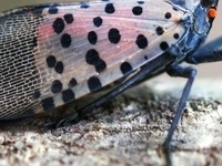 spotted lanternfly adult, lateral view
