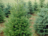 young douglas fir and norway spruce trees