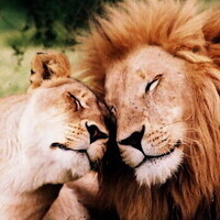 female and male lions with eyes closed