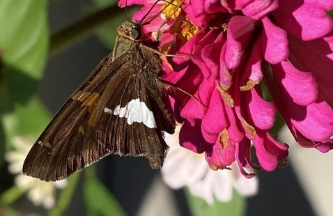 silver spotted skipper on a zinnia