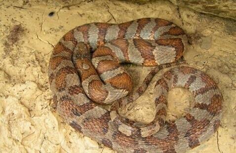 Midland banded water snake