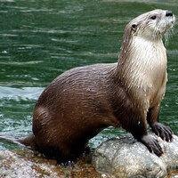 River Otter Reintroduction Video