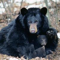 PA Black Bear Video