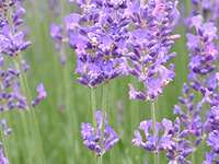 Verdant Views: Lavender – Culture and Cultivation