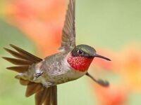 How High-Energy Hummingbirds Survive