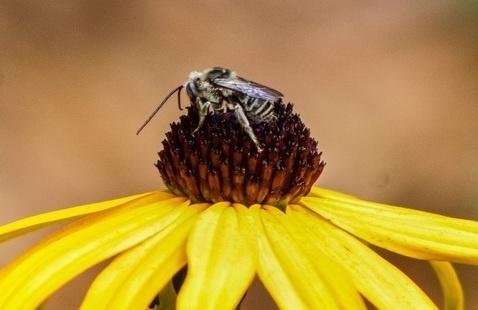 bee no flower