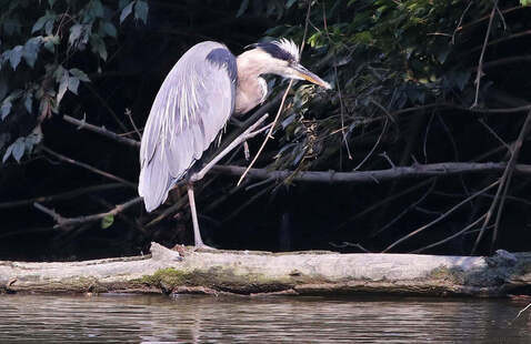 Great Blue Heron by Jerry Byard