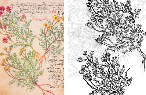 Medieval botany photo and drawing