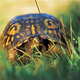 Box Turtle at Long Pond Story & Hike for Home Schoolers & Cyber School