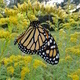Monarch Butterfly Tagging at Sinnemahoning State Park