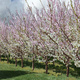Orchard of apple trees with spring blossoms in both pink and white.