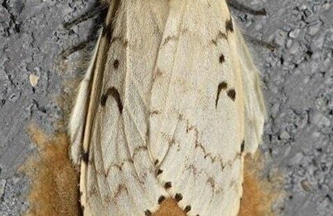Lymantria dispar (Gypsy Moth) in the Finger Lakes