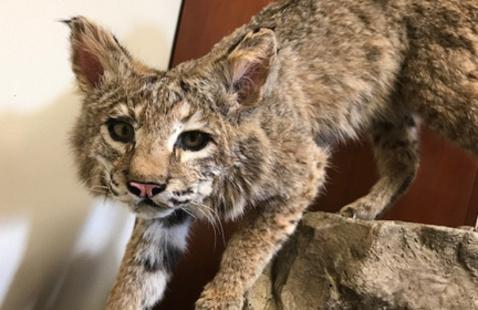 Bobcat specimen