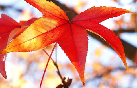 Sweet Gum Leaf in Fall Color, photo by Jerry Byard