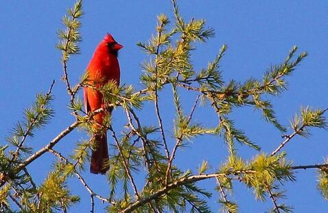 Northern Cardinal by Jerry Byard