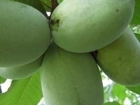 Tour of Paw Paw Orchard