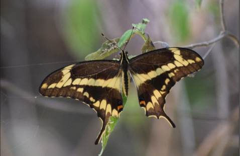 Close Encounters of the Butterfly Kind: Butterfly Expedition in the Caribbean