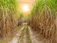 """""""Struggles over Land and Power in the Newest Sugarcane Region of Brazil: A case study with global implications,"""" by Fernanda Ayala, LACS Weekly Seminar Series"""