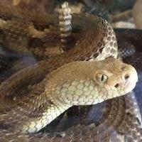Rattlesnakes on Stage