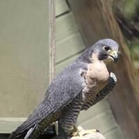 Falcons in Flight